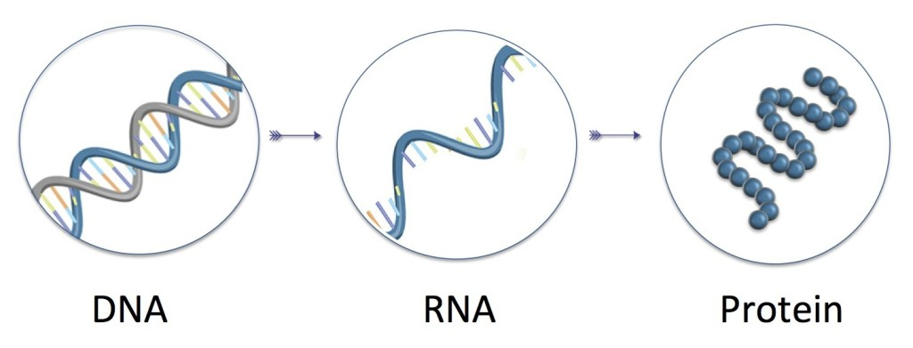 In der DNA ist eine Kopie der Erbinformation gespeichert, die als Bauplan für den lebenden Organismus dient. Bestimmte Abschnitte werden Gene genannt. Sie können abgelesen und bei Bedarf in RNA übersetzt werden. Auf deren Grundlage werden anschließend die Proteine zusammengebaut.