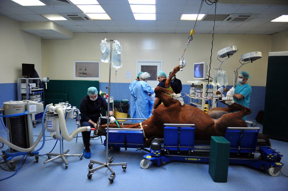 So schaut es aus, wenn ein Pferd operiert wird.