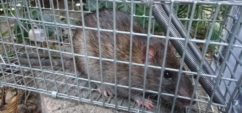 Eine Ratte in einem mettalenen Käfig