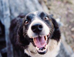 freundlich schauender schwarz-weißer Hund