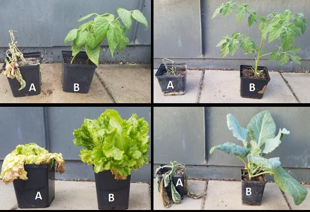 Das Foto ist in vier Rechtecke geteilt. In jedem Abschnitt sind zwei Pflanzen zu sehen, die Pflanze A ist vertrocknet, die Pflanze B nicht.