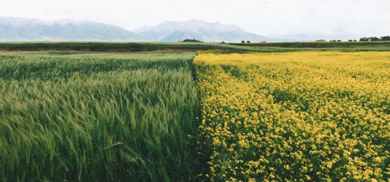 Ein Weizen- und ein Rapsfeld treffen in der Mitte des Bildes aufeinander. Im Hintergrund stehen die Berge.