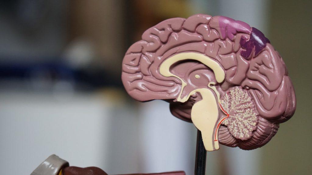 Ein Plastikmodell eines menschlichen Gehirns im Querschnitt.