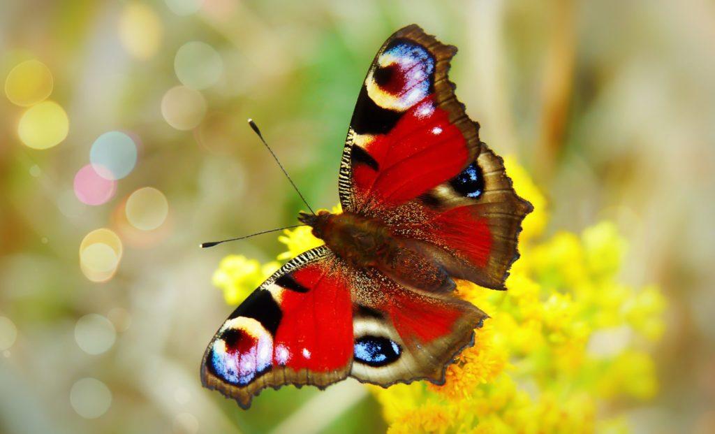 Ein bunter Schmetterling auf einer gelben Blume.