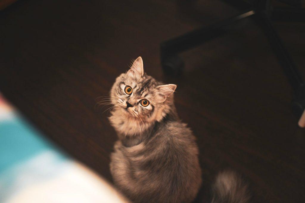 Eine graue Katze sitzt am Boden und schaut nach oben, im Hintergrund erkennt man einen Schreibtischsessel.