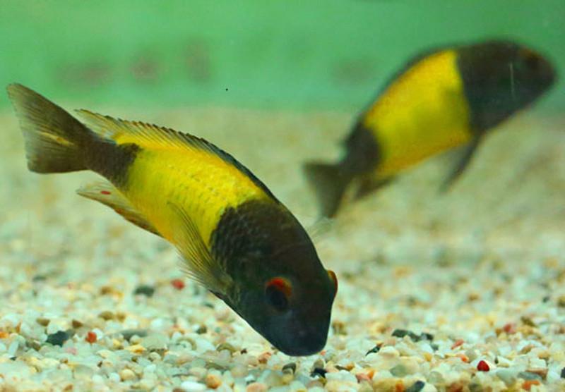 Das Bild zeigt zwei gelb-schwarze Fische in einem Aquarium.