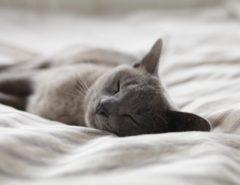 Eine graue Katze schläft auf einem Bett.