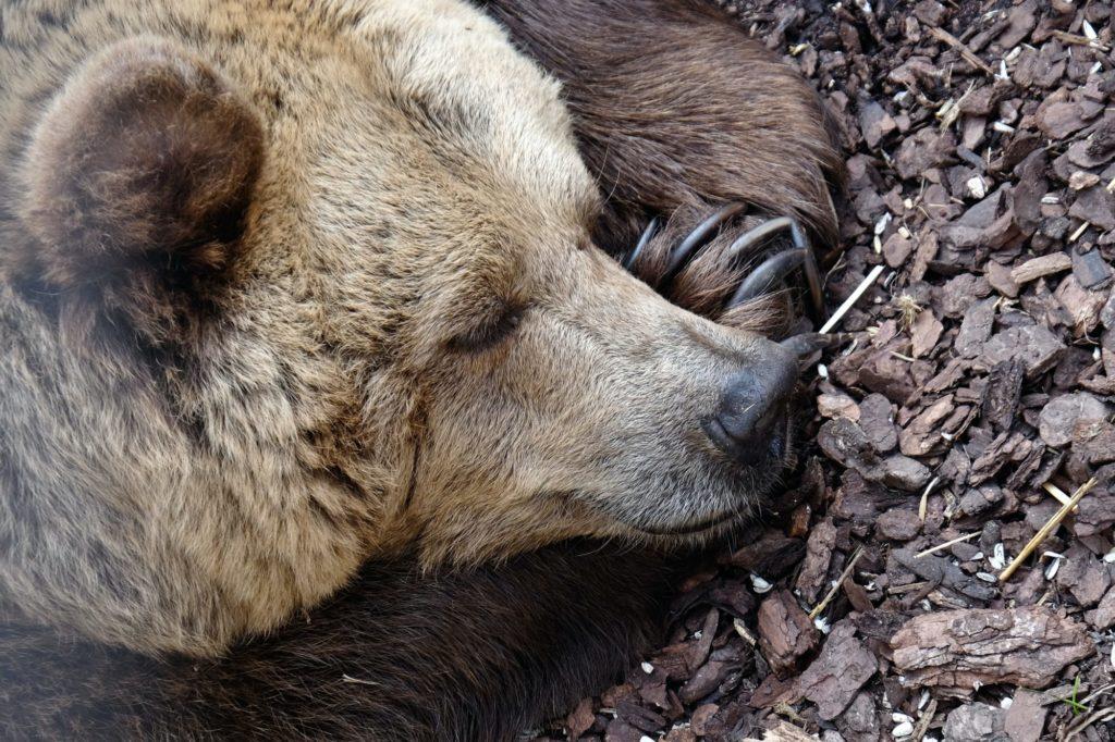 Ein brauner Bär schläft auf dem Boden.