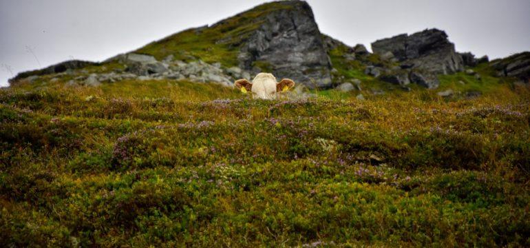 Das Foto zeigt eine Kuh, die aussieht, als würde sie sich hinter einem moosbedeckten Hügel verstecken.